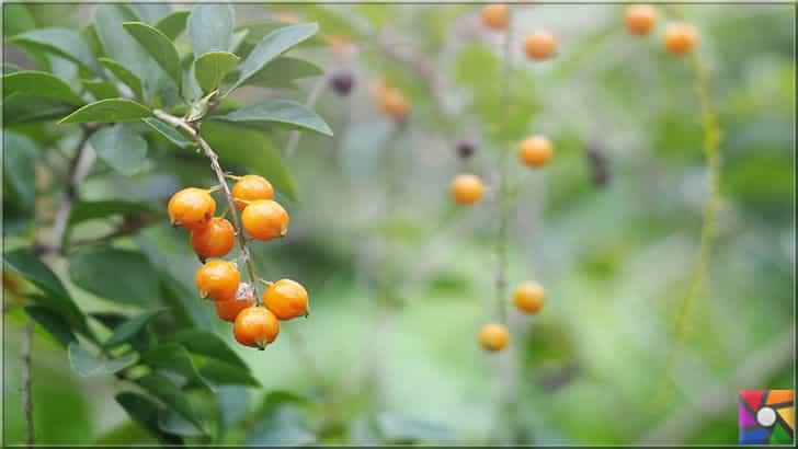 Süper besinlerden biri Altın Çilek Türkiye'de de üretilmeye başlandı