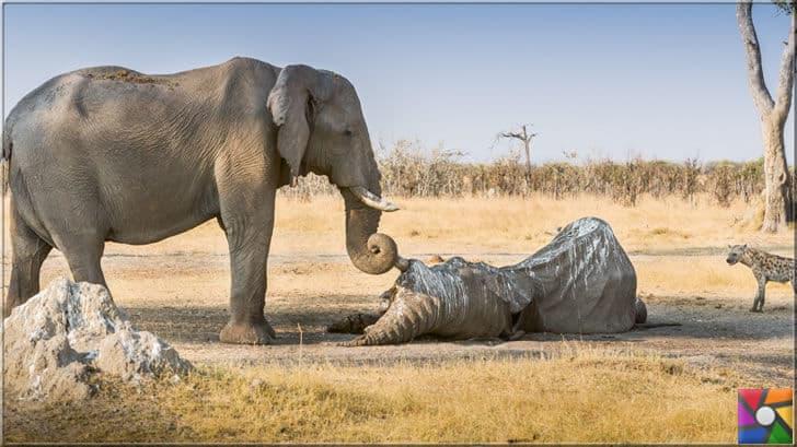 Fillerde yas tutan hayvanlar listesinde