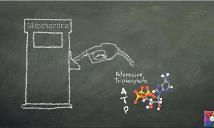 Hücrelerin enerji santralleri mitokondriler bağımsız mı çalışır?