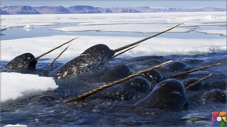 Deniz gergedanı olarak bilinen gizemli Narvallar
