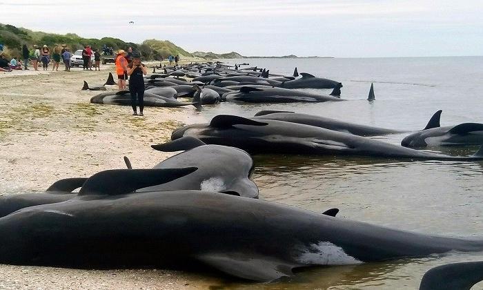 Balinalar neden karaya vurur?