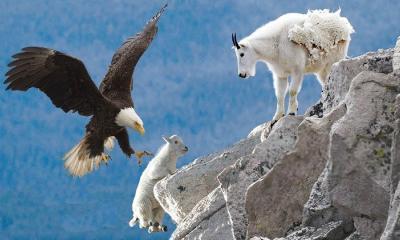 Dağ keçileri nasıl tırmanır?