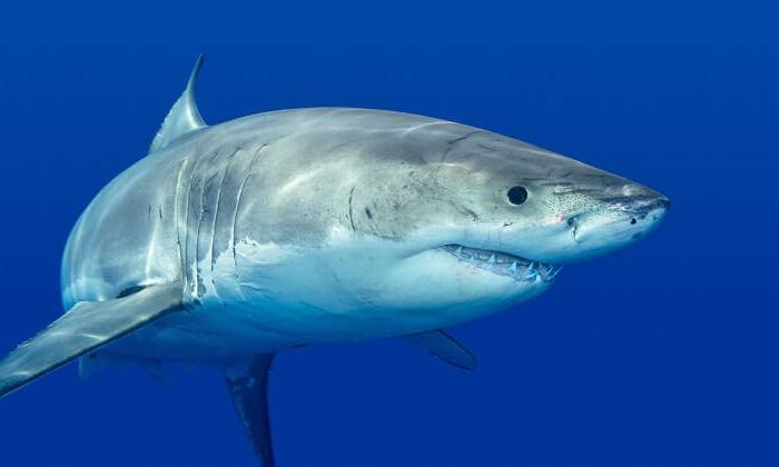 Köpekbalıkları nasıl kovulur?