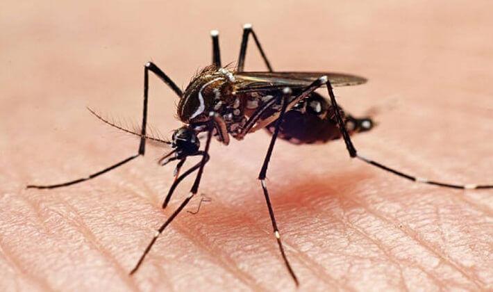 Aedes aegypti sivrisinek türünü