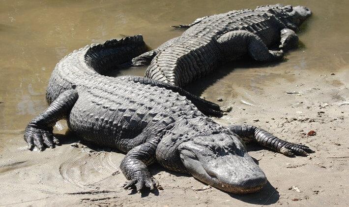 Amerikan aligatorler