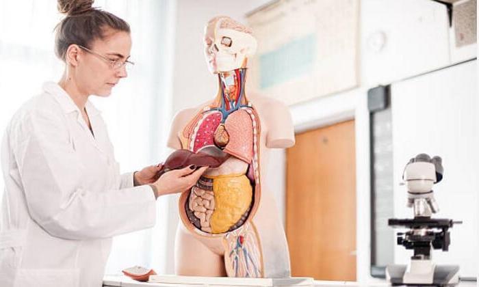 Kendi kendini yenileyebilen organımız Karaciğer nasıl çalışır?