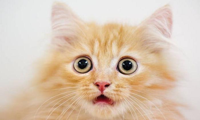 Kedilerin insanları taklit etmesi bilişsel yeteneklerini mi gösterir?