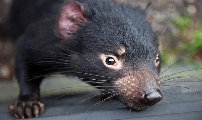Keseli hayvanlar listesindeki küçük üye: Tasmanya canavarları