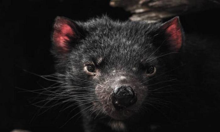 Nesli tükenecek hayvanlar listesindeki Tasmanya canavarları
