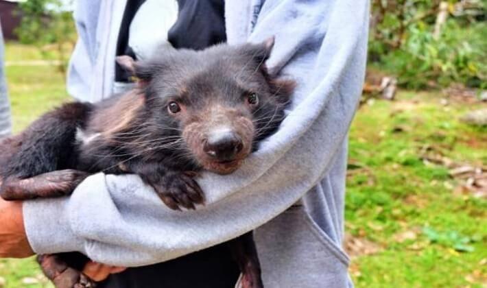 Tasmanya Canavarıının artık korunmaya ihtiyacı var yoksa nesli tükenecek