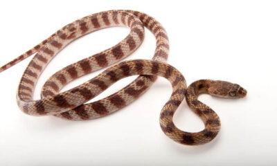 Yılanlarda beşinci hareket türü keşfedildi