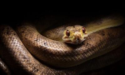 Yılanlar zifiri karanlıkta nasıl görüyor? Yılanların bilinmeyen özellikleri